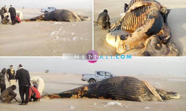 Une baleine échoue à la frontière entre le Sénégal et la Mauritanie