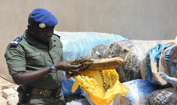 BILAN ANNUEL LUTTE ANTI-DROGUE – Plus de 45 kg de chanvre indien saisis à Diourbel