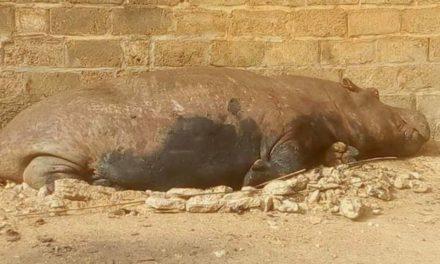 L'hippopotame qui semait la terreur à Kédougou finalement abattu