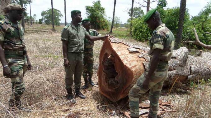 Altercation entre agents des eaux et forêts et militaires Gambiens