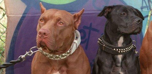 Talibé mordu par un pitbull : 1 mois ferme pour le propriétaire du chien