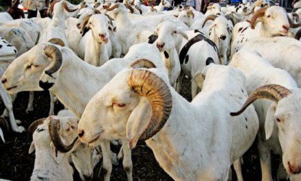TABASKI 2020 – Plus de 150 mille moutons invendus.
