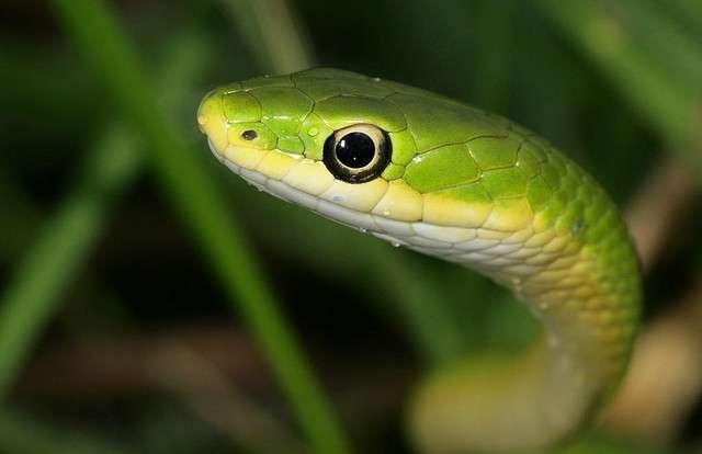 Nigéria : un serpent tombé du toit fait fuir des parlementaires