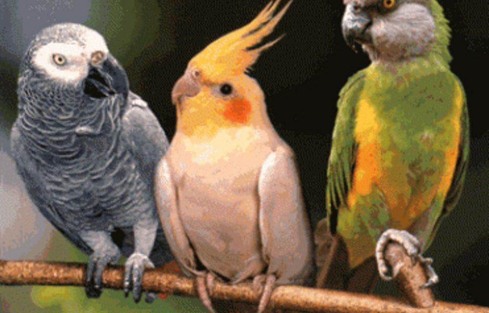 AIBD-CRIMINALITÉ FAUNIQUE – Un Algérien voulait exporter frauduleusement 131 perroquets