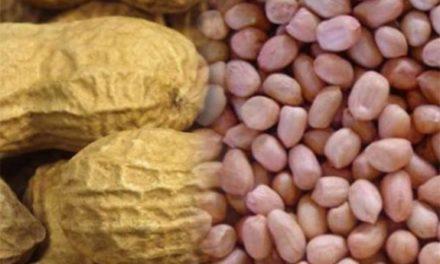 CAMPAGNE ARACHIDIERE- Les paysans du Bassin arachidier dans le désarroi