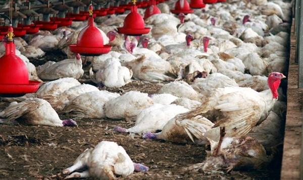 THIES – Plus de 50.000 volailles tuées par la grippe aviaire