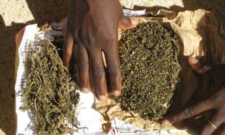 GOUDOMP – 42 kg de chanvre indien saisis