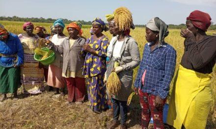 SÉCURITÉ ALIMENTAIRE – Les productrices de riz des régions de Kolda et Sédhiou impactées par le Covid-19